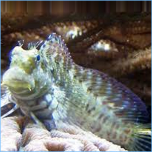 Sailfin Blenny or Lawnmower Blenny