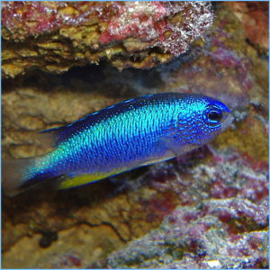Allen's Damselfish or Neon Damselfish