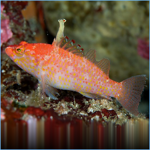 Altipinnatus Anthias