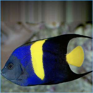 Arabian Angelfish or Asfur AngelFish