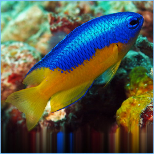 Bali Golden Yellow Belly Damselfish