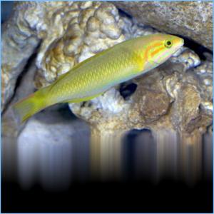 Banana Wrasse Fish or Yellow Brown Wrasse