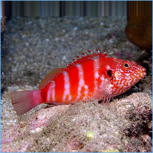 Banded Hawkfish or Blood Red Hawkfish