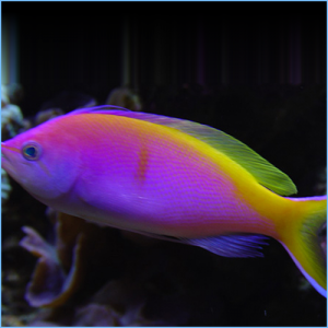 Bartlett's Anthias or Bartlett's Fairy Bass
