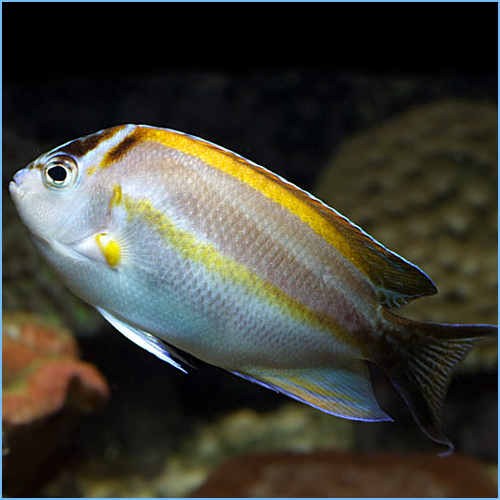 Bellus Angelfish Male