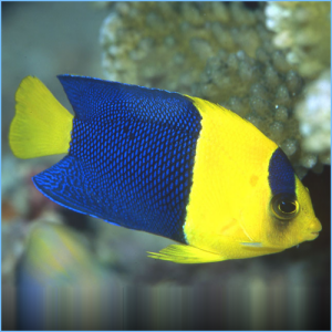 Bicolor Angelfish or Oriole Angelfish