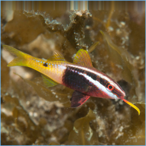 Bicolor Goatfish or Dash & Dot Goatfish