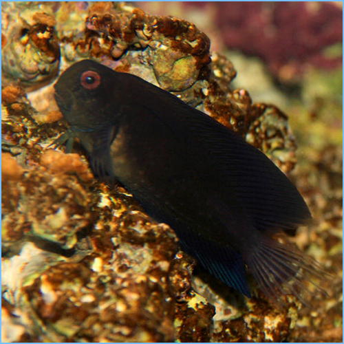 Black Combtooth Blenny or Namive's Blenny