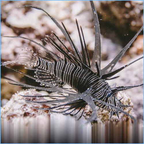 Black Peacock Lionfish