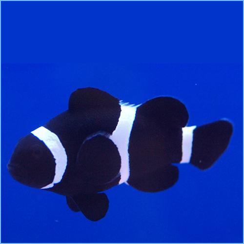 Black Percula Clownfish or Black False Percula Clownfish