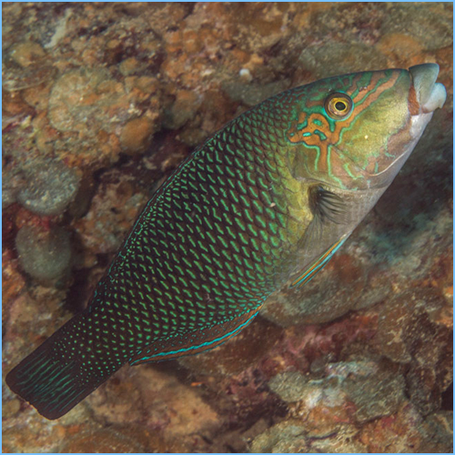 Blackeye Thicklip Wrasse or Half-and-Half Wrasse