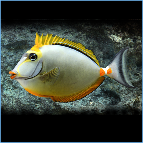 Blonde Naso Tang Fish