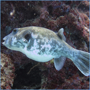 Blue Dog Face Puffer or Arothron Dog Face Puffer