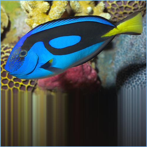Blue Hippo Tang Fish