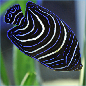 Blue Koran Angelfish