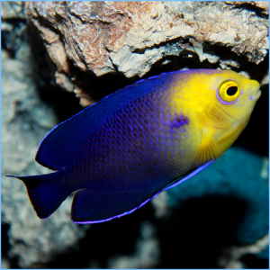 Blue Pygmy Angelfish