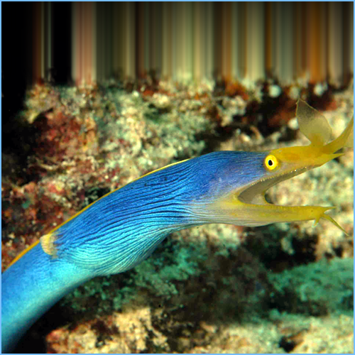 Blue Ribbon Eel or Leaf-Nosed Moray Eel