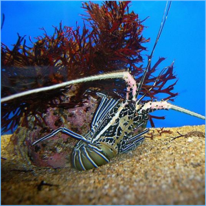 Blue Spiny Lobster or Painted Rock Lobster