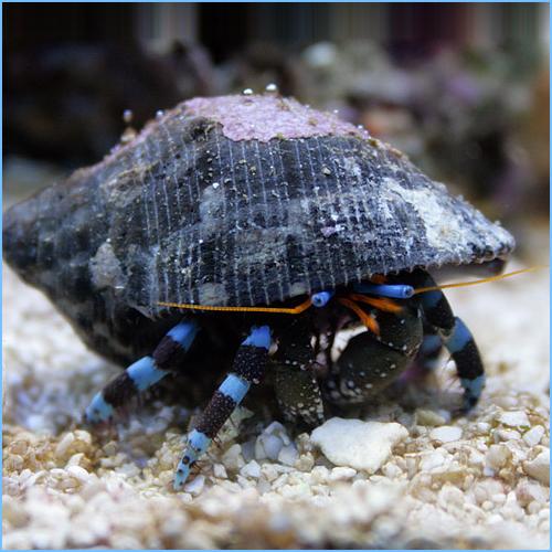 Blue Stripe Hermit Crab