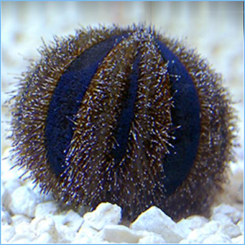 Blue Tuxedo Urchin