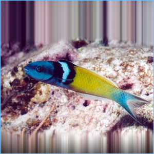 Bluehead Wrasse Fish or Blue-Headed Wrasse