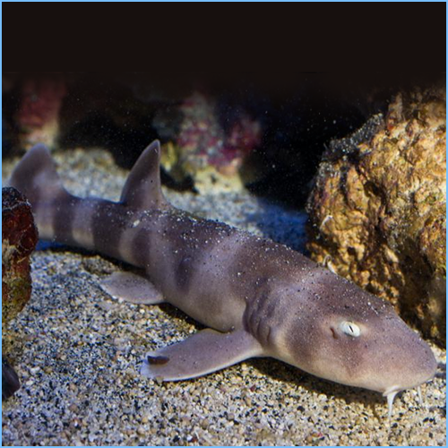 Brown Banded Shark