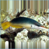 Black or Brown Bird Wrasse