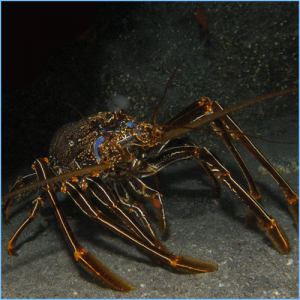 Brown Spiny Lobster