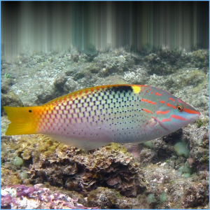 Checkerboard Wrasse or Hortulanus Wrasse