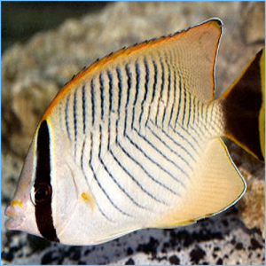 Chevron Butterflyfish or Triangulate Butterflyfish