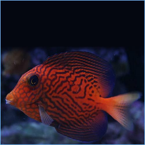 Chevron Tang Fish