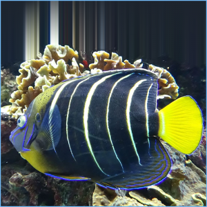 Chrysurus Angelfish or Goldtail Angelfish