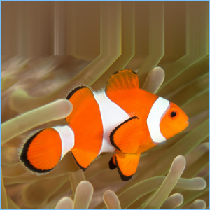 Clown Anemonefish or False Percula Clownfish