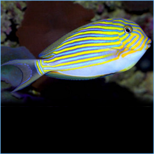 Clown Tang Fish or Clown Surgeonfish