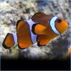 Clownfish for Sale: True Percula Clownfish, Sabae Clownfish