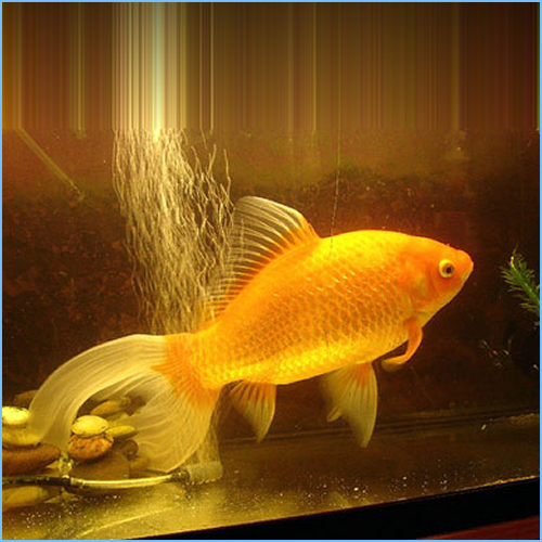 Comet-Tailed Goldfish or Comet Goldfish