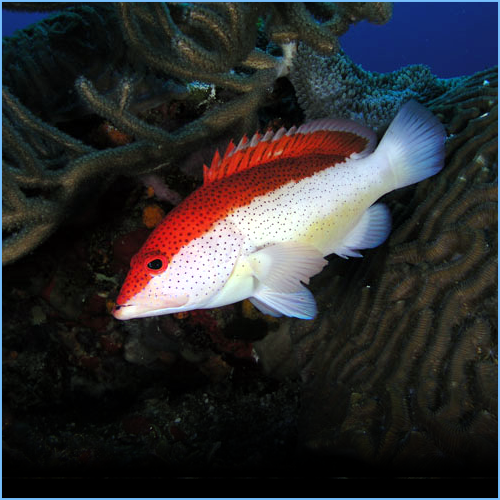 Coney Grouper Fish