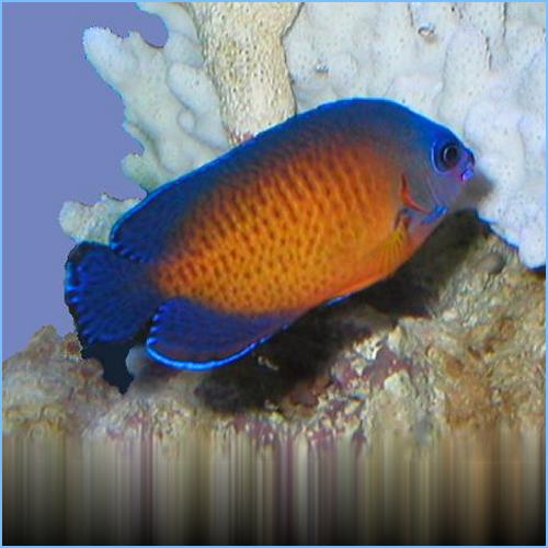 Coral Beauty Angelfish or Twospined Angelfish
