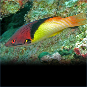 Coral Eclipse Hogfish