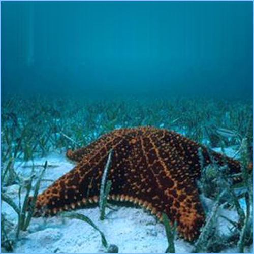 Cushion Star or Cushion Starfish