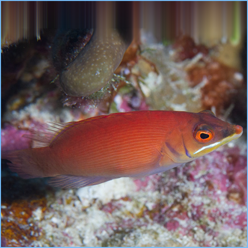 Disappearing Secretive Wrasse or Scarlet Pin Stripe Wrasse