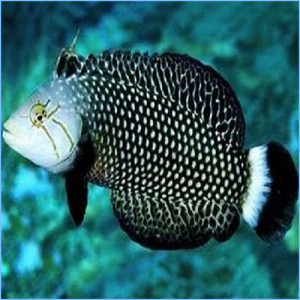 Dragon Wrasse or Rockmover Wrasse