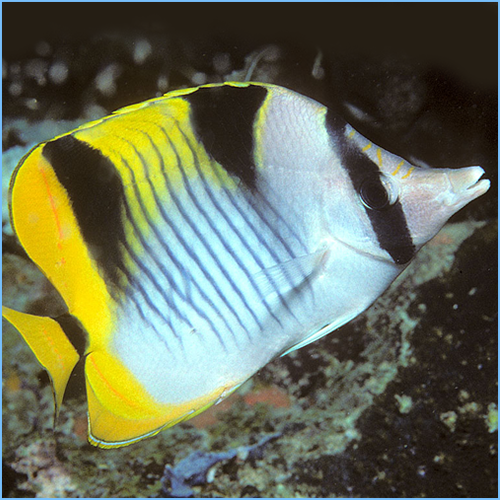 Falcula Butterflyfish or Blackwedged Butterflyfish