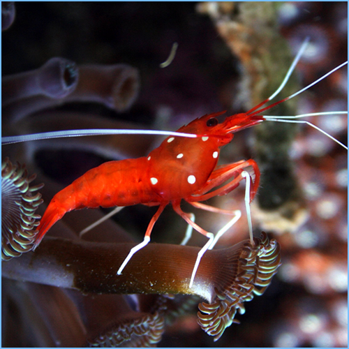 Fire Blood Shrimp or Scarlet Cleaner Shrimp