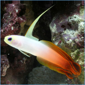 Firefish Goby or Magnificent Fire Dartfish
