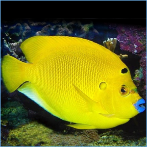 Flagfin Angelfish or Threespot Angelfish