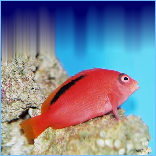 Flame Hawkfish or Brilliant Hawkfish