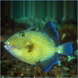 Bluelined Fuscus Triggerfish