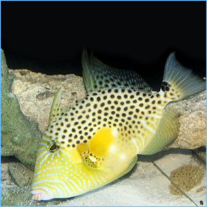 Gold Heart Triggerfish or Bluespotted Triggerfish