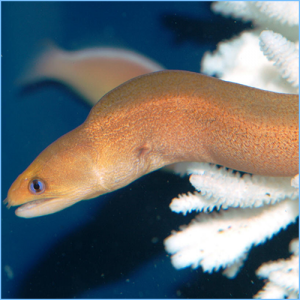 Golden Dwarf Moray Eel